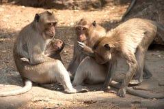 Affefamilie, die auf dem Boden (Macaca Fascicularis) sitzt. Stockbild