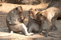 Affefamilie, die auf dem Boden (Macaca Fascicularis) sitzt. Stockfoto
