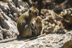 Affefamilie, die auf Steinen sich entspannt Lizenzfreie Stockfotos
