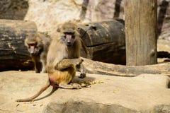 Affefamilie, die im Zoo lebt Stockbild