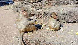 Affefamilie, die Körner isst Lizenzfreie Stockfotos