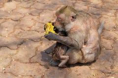 Affefamilie, die Mango in Thailand isst Lizenzfreie Stockfotos