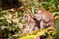 Affefamilie, die um jeden anderen sich kümmert Lizenzfreies Stockfoto