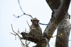 Affefamilie essen das Lebensmittel, das Leute holen Stockbilder