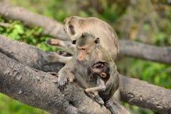 Affefamilie essen das Lebensmittel, das Leute holen Stockfotos