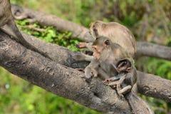 Affefamilie essen das Lebensmittel, das Leute holen Lizenzfreies Stockbild