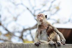 Affefamilie essen das Lebensmittel, das Leute holen Stockbild