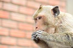Affefamilie essen das Lebensmittel, das Leute holen Lizenzfreie Stockfotografie