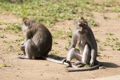 Affefamilie am heiligen Affewald Stockfoto