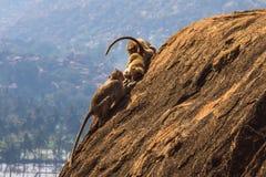 Affefamilie im Berg Stockfotografie