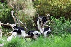 Affefamilie ist auf den Niederlassungen von Bäumen Lizenzfreies Stockbild
