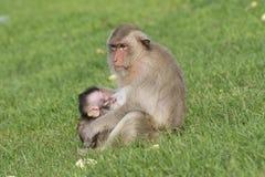 Affefamilie leben in der Stadt Stockfotos