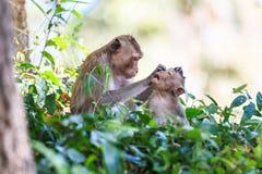 Affefamilie (Makaken Krabbe-essend) Lizenzfreies Stockfoto