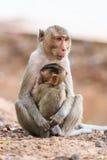 Affefamilie (Makaken Krabbe-essend) Stockfoto