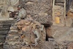 Affefamilie in Thailand Lizenzfreies Stockbild