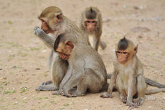 Affefamilie in Thailand Lizenzfreies Stockfoto