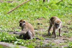 Affefamilie am Wasser Lizenzfreie Stockfotos