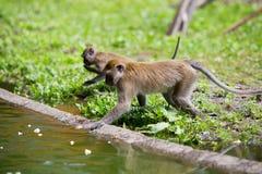 Affefamilie am Wasser Stockfotografie