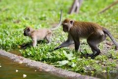 Affefamilie am Wasser Lizenzfreie Stockbilder