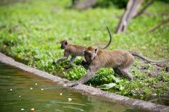 Affefamilie am Wasser Stockbild
