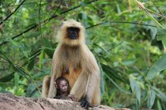 Affefamilie, wild lebende Tiere Lizenzfreie Stockfotografie