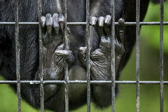 Affefinger im Käfig Stockfotos