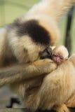 Affefrau kiising ihr Baby Lizenzfreie Stockfotos
