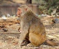Affefrau mit Baby ist verärgert und zeigt Zähne, Indien Lizenzfreies Stockfoto