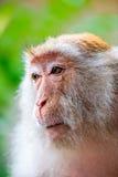 Affegesichtsnahaufnahme auf Natur Lizenzfreie Stockfotos