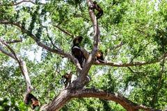 Affegruppe im Baum Stockfotos