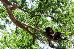 Affegruppe im Baum Stockbild