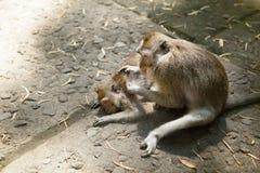 Affehilfen, zum von Flöhen zu anderen loszuwerden Lizenzfreie Stockbilder