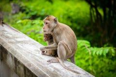 Affekrabbe, die Makaken pflegendes isst Stockbild