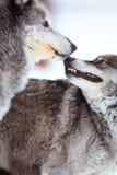 Affektion av två timmervarger Arkivfoto