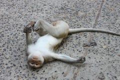Affelüge flach auf dem Zement Stockfoto