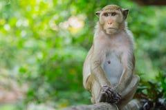 Affeleben in einem Naturwald von Thailand Stockbild