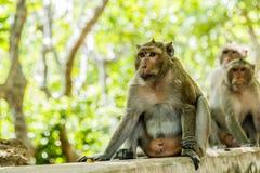 Affeleben in einem Naturwald von Thailand Lizenzfreies Stockbild