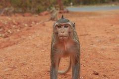 Affemakaken in einer Waldlichtung in Thailand stockbild
