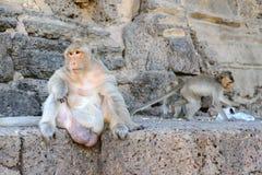 Affemenge verteidigte eine Gefahr zu anderen Stockfotos