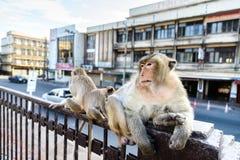 Affemenge verteidigte eine Gefahr zu anderen Lizenzfreie Stockbilder