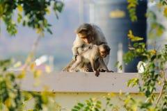 Affemutter, die für sein Baby sich interessiert Stockbild