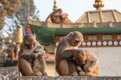Affemutter, die ihr Baby nahe dem Tempel in Kathmandu, Nepal h?lt Fallhammer in Katmandu nepal Ein kleiner netter Affe lizenzfreie stockbilder
