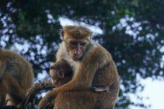 Affemutter hält Baby in ihren Armen Stockbild