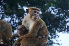 Affemutter hält Baby in ihren Armen Lizenzfreies Stockfoto