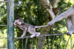 Affemutter hält das Kind durch das Endstück in Bali, Indonesien Lizenzfreies Stockfoto
