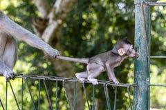 Affemutter hält das Kind durch das Endstück am heiligen Affewald in Ubud, Bali, Indonesien Lizenzfreie Stockfotos