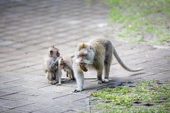 Affemutter mit ihren Kindern Lizenzfreie Stockfotos