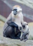 Affemutter und -baby Stockfoto