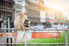 Affemutter und Baby Lopburi Thailand Lizenzfreie Stockfotografie