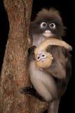 Affemutter und ihr Baby (Presbytis-obscura Reid). Stockfotografie